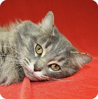 Domestic Mediumhair Cat for adoption in Jackson, Michigan - Charlie
