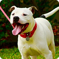 American Bulldog Mix Dog for adoption in Calgary, Alberta - Franklin