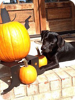 Labrador Retriever Mix Dog for adoption in Brattleboro, Vermont - Porter
