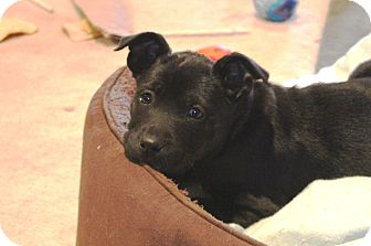 Labrador Retriever/Shepherd (Unknown Type) Mix Puppy for adoption in Homewood, Alabama - Snap