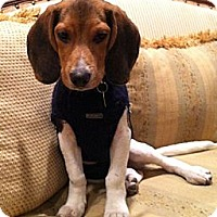 Adopt A Pet :: Ty - Novi, MI