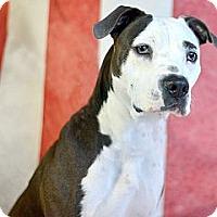 Adopt A Pet :: Penny - Des Peres, MO