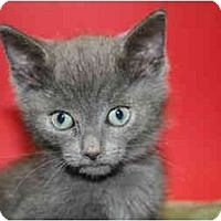 Adopt A Pet :: BURT - SILVER SPRING, MD