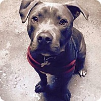 American Pit Bull Terrier Mix Dog for adoption in Las Vegas, Nevada - Apollo