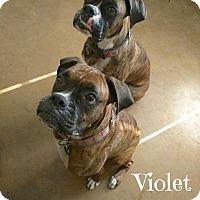 Adopt A Pet :: Violet & Vienna - Scottsdale, AZ