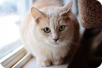 Domestic Mediumhair Cat for adoption in Markham, Ontario - Max