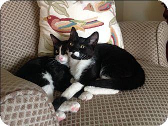 Domestic Shorthair Kitten for adoption in Monrovia, California - Sugar Ray