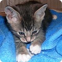 Adopt A Pet :: Grey #2 - Lebanon, PA