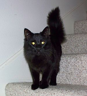 Domestic Mediumhair Cat for adoption in San Ysidro, California - Coco