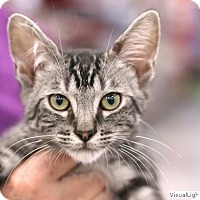 Domestic Shorthair Kitten for adoption in Westchester, California - Groucho