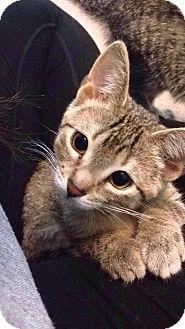 Domestic Shorthair Kitten for adoption in Winnipeg, Manitoba - Rain