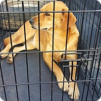 Adopt A Pet :: Leia - Lexington, NC