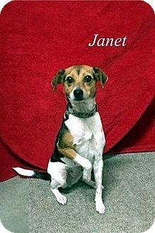 Terrier (Unknown Type, Medium)/Beagle Mix Dog for adoption in Lacon, Illinois - Janet