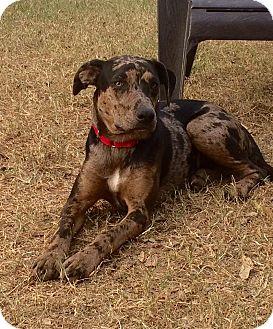 Catahoula Leopard Dog Mix Dog for adoption in Uxbridge, Massachusetts - Journey