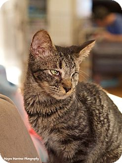 Domestic Shorthair Kitten for adoption in Knoxville, Tennessee - Sparrow