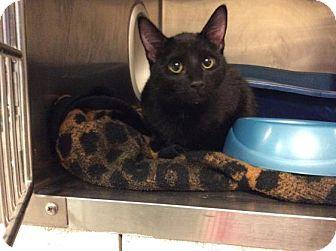 Domestic Shorthair Cat for adoption in Janesville, Wisconsin - Eden