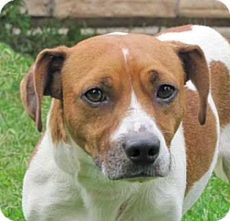 Beagle Mix Dog for adoption in Woodstock, Illinois - Alfonso