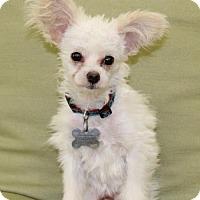Adopt A Pet :: Macadamia Nut - Las Vegas, NV