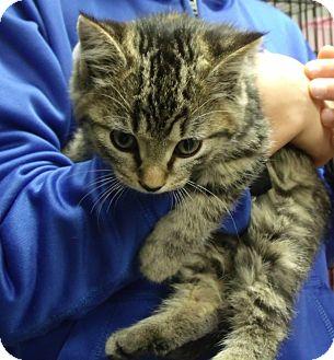 Domestic Shorthair Kitten for adoption in Somerset, Kentucky - Loki