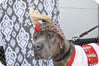 Cane Corso Mix Dog for adoption in Baltimore, Maryland - Posey