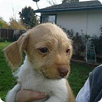 Adopt A Pet :: Patsy - Healdsburg, CA