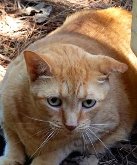 Domestic Shorthair Cat for adoption in Melrose, Florida - Olivia