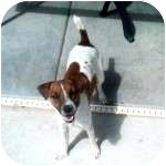 Jack Russell Terrier Dog for adoption in Gilbert, Arizona - HAGEN