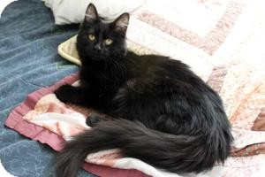 Domestic Longhair Kitten for adoption in Cleveland, Ohio - Juju