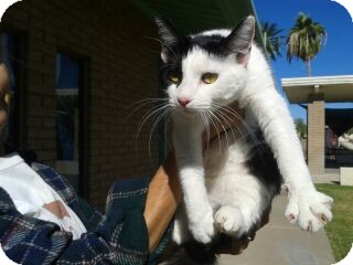 Domestic Shorthair Kitten for adoption in Phoenix, Arizona - Dora