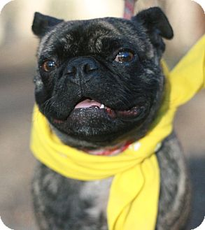 French Bulldog/Pug Mix Dog for adoption in Canoga Park, California - Beenie AKA Hercules
