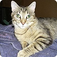 Domestic Shorthair Cat for adoption in Bentonville, Arkansas - Abby