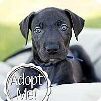 Adopt A Pet :: Captain America - Broomfield, CO