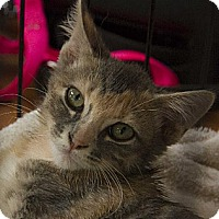Calico Kitten for adoption in Norman, Oklahoma - Pixie and Star