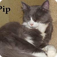 Adopt A Pet :: Pip - Bentonville, AR