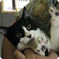 Domestic Shorthair Kitten for adoption in Reeds Spring, Missouri - Dale