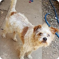Adopt A Pet :: Gordy - Encino, CA