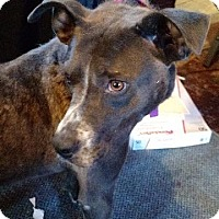 Adopt A Pet :: Karma - Milwaukee, WI