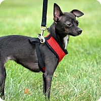 Italian Greyhound/Chihuahua Mix Dog for adoption in Florence, Kentucky - Wilma *I'm only 4 lbs!!!*