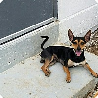 Miniature Pinscher/Chihuahua Mix Dog for adoption in Fort Worth, Texas - DIEGO