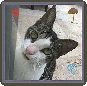 British Shorthair Cat for adoption in Miami, Florida - Maxie