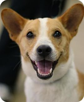 Corgi/Basenji Mix Dog for adoption in Berkeley Heights, New Jersey - Stanley