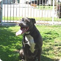 Adopt A Pet :: Cobalt aka Cobie - Bellflower, CA