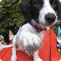 Adopt A Pet :: Hershey - San Diego, CA