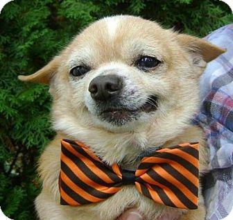 Chihuahua Dog for adoption in Livonia, Michigan - Papa