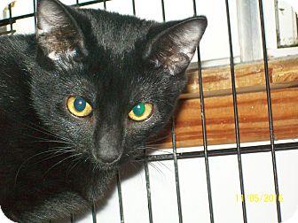 Domestic Shorthair Cat for adoption in Mexia, Texas - BlackJack