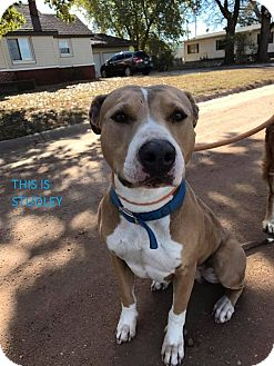 American Pit Bull Terrier Mix Dog for adoption in Kingman, Kansas - Studley