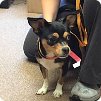 Adopt A Pet :: Chicarita - Poughkeepsie, NY