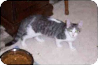 Domestic Shorthair Cat for adoption in Simms, Texas - Darby & Ryan