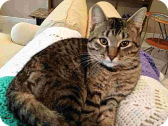Domestic Shorthair Cat for adoption in Fairborn, Ohio - Mr. Purrkitty-URGENT!