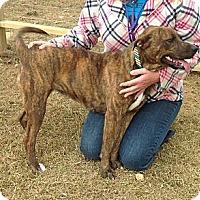 Adopt A Pet :: Roxy-Mae - Albany, NY